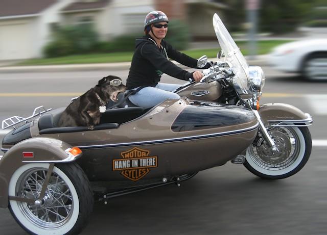 Como transportar animales en moto