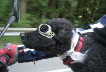 Como llevar a mi perro en moto