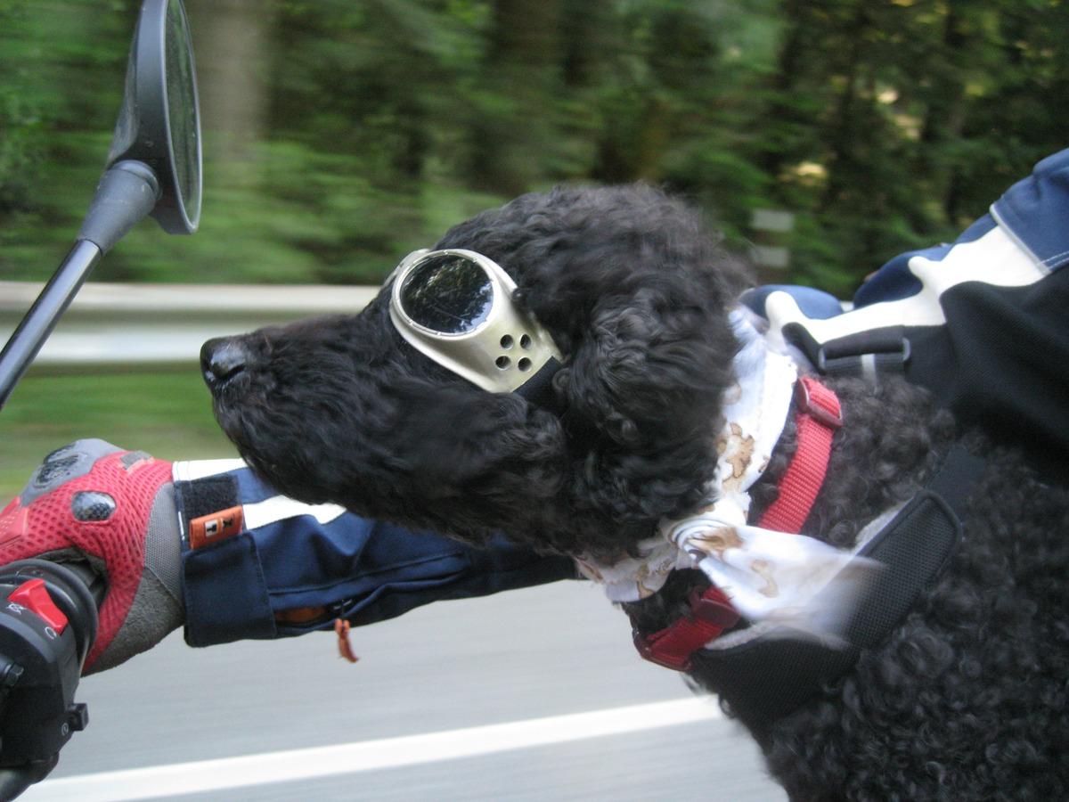 Cómo transportar animales en la moto de la forma más segura